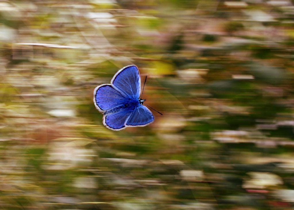 Ein blauer Schmetterling im Flug vor vorbeisausendem Hintergrund.