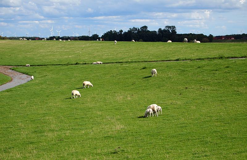 Viele Schafe auf einer saftig grünen Wiese.